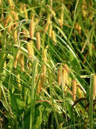 Carex à toupet