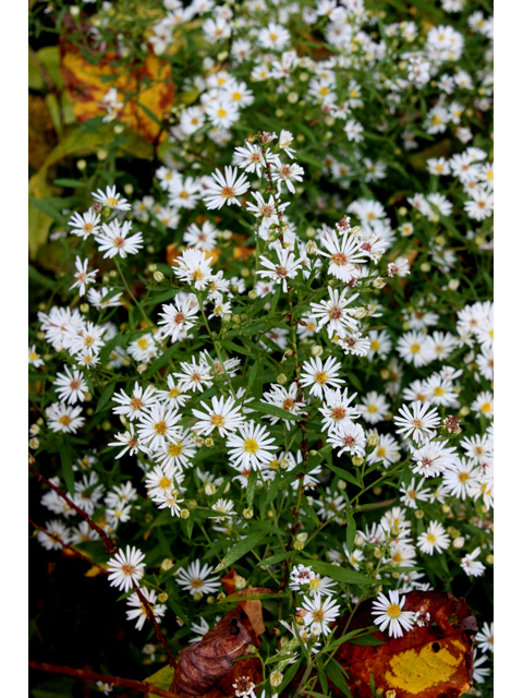 Aster Simple