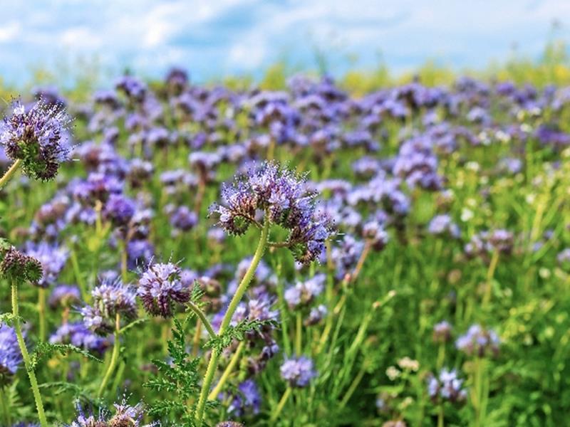 Plantes mellifères annuelles / SÉRIE AGRI