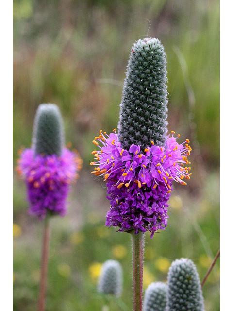 Dalée violette