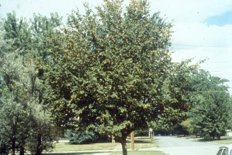 Ostryer de Virginie