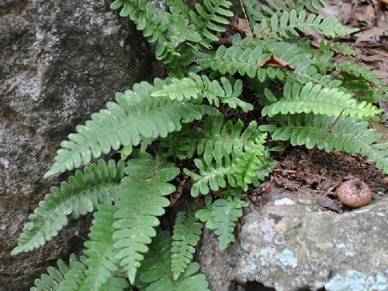 Polypode de Virginie