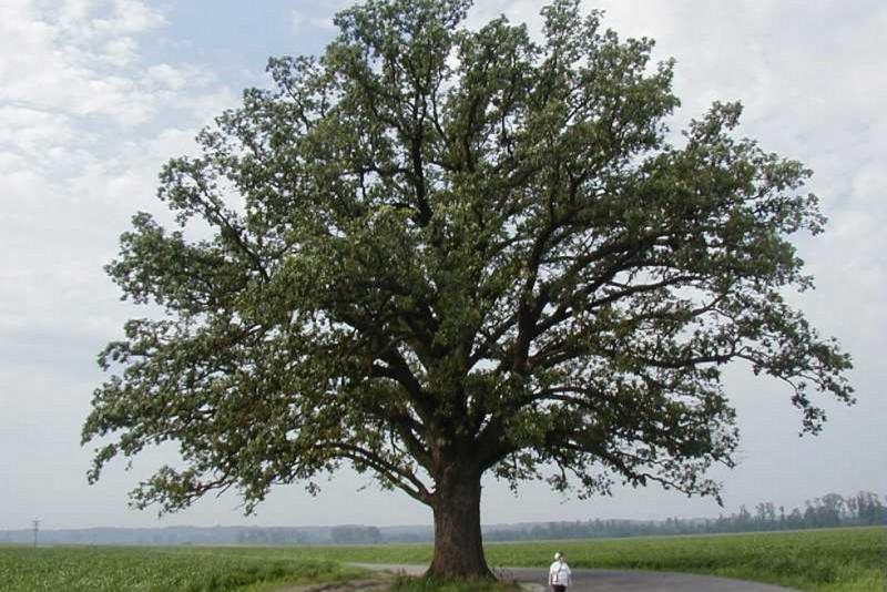 Chêne à gros fruits