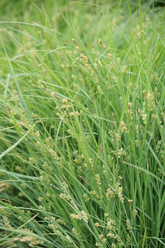 Carex doré