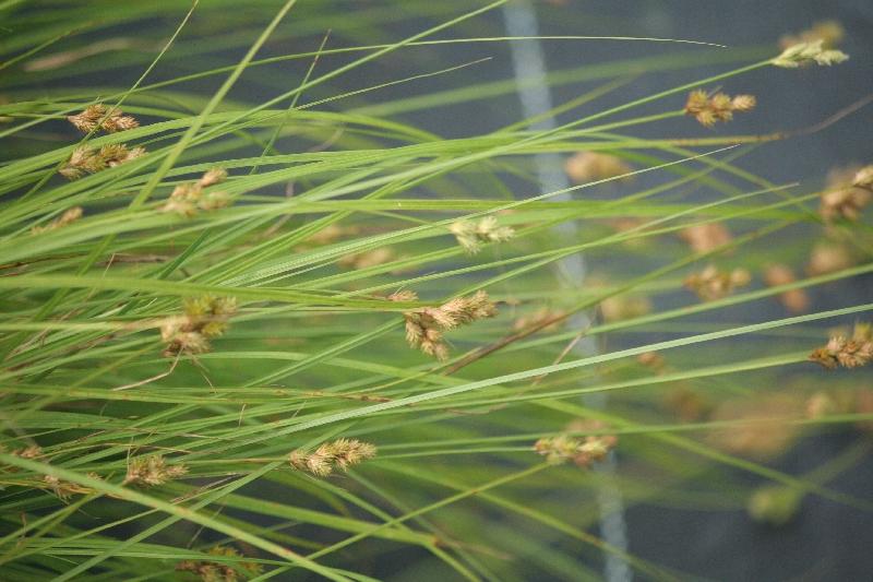 Carex de Bebb