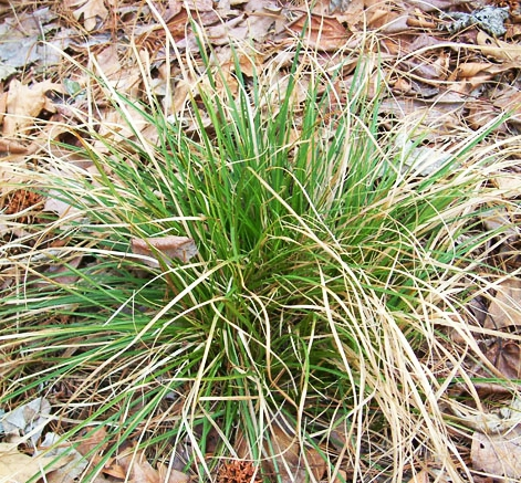 Carex de Pennsylvanie