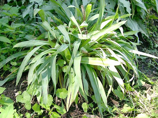Carex à larges feuilles