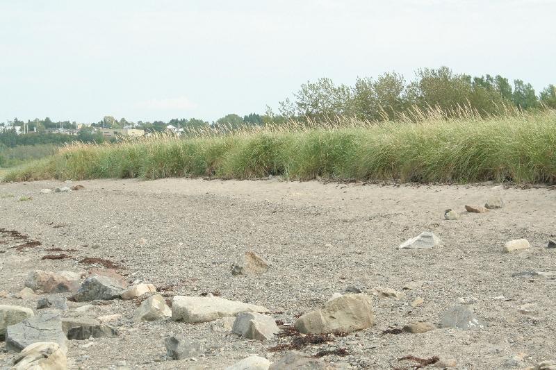 Élyme des sables