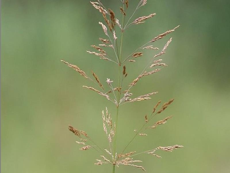 Agrostide blanche