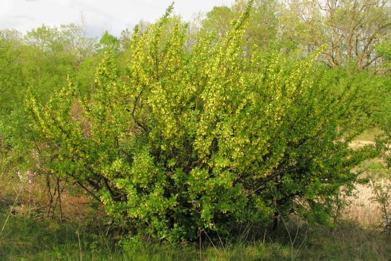 Caragana arborescent