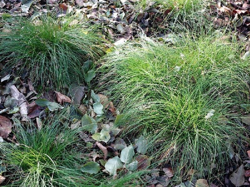 Carex des Appalaches