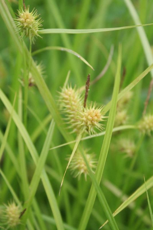Carex luisant