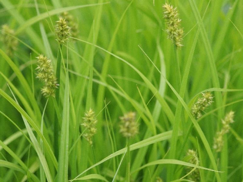 Carex stipité