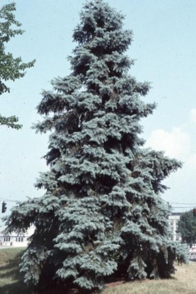Épinette bleue du Colorado