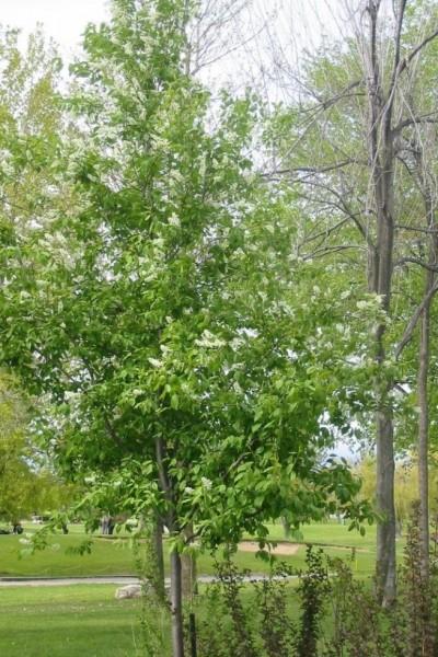 Cerisier à grappes