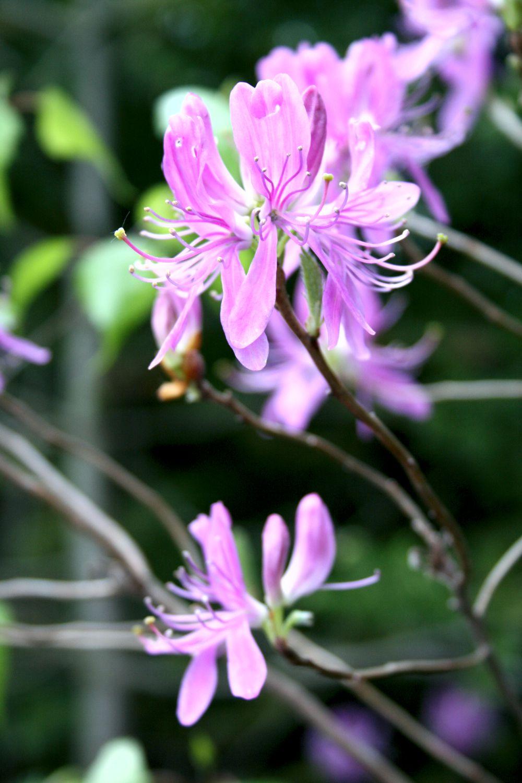 Rhododendron du Canada