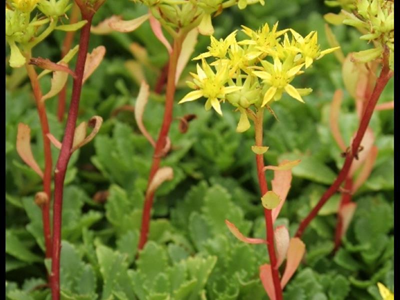 Orpin florifère